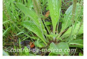mala hierba control de maleza