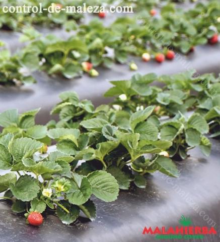 ground cover en el cultivo de fresas