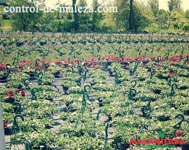 Groun cover en la  Floricultura