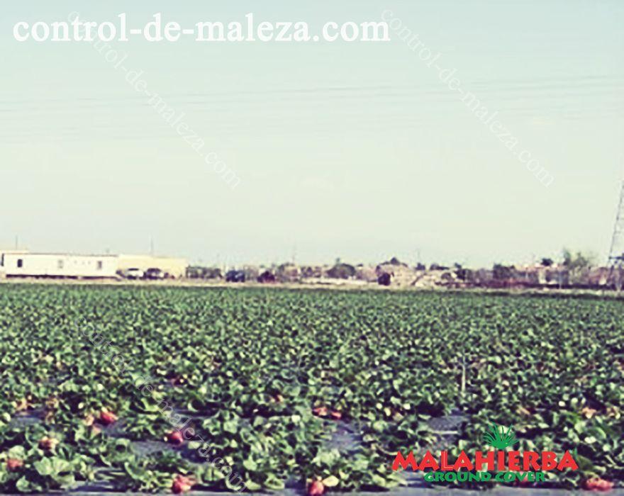 GROUNDCOVER en cultivos a cielo abierto